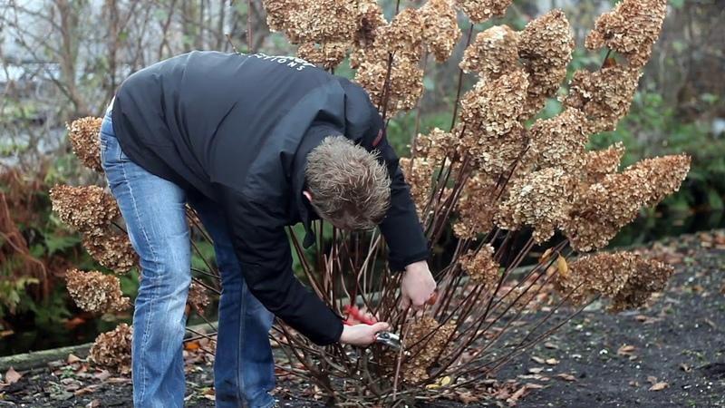 How to prune a Hydrangea paniculata