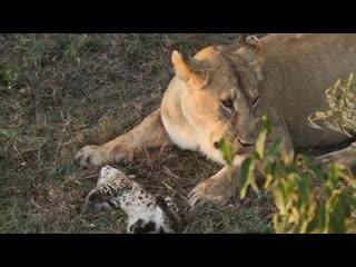 Главные охотники в прайде – львицы, но если они сыты, то не станут нападать даже на тех животных, которые находятся поблизости.