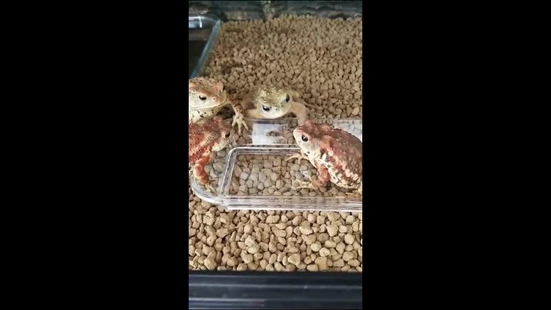 Разборка жаб не поделивших червяка