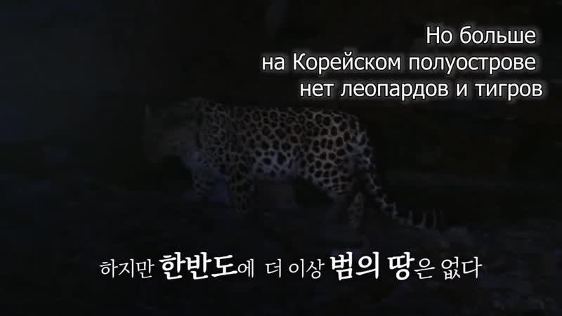 Новый фильм о Земле леопарда вышел на центральном телеканале Кореи В главных ролях дальневосточный леопард и амурский тигр