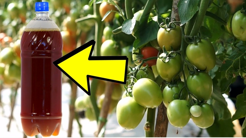 Дайте ПОЛ Литра ЭТОГО Каждому Кустику ТОМАТОВ, ОГУРЦОВ, ПЕРЦА! Будете Собирать Богатый Урожай!