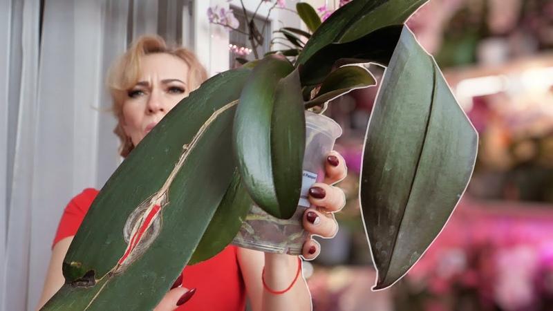 БЫСТРО ВОССТАНОВИТЬ тургор листьев орхидее Через 3 дня будет КАК НОВАЯ