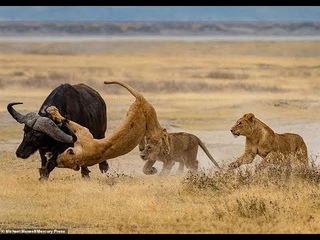 Survival battles between the Lion and the wild buffalo of Africa    Subtitle