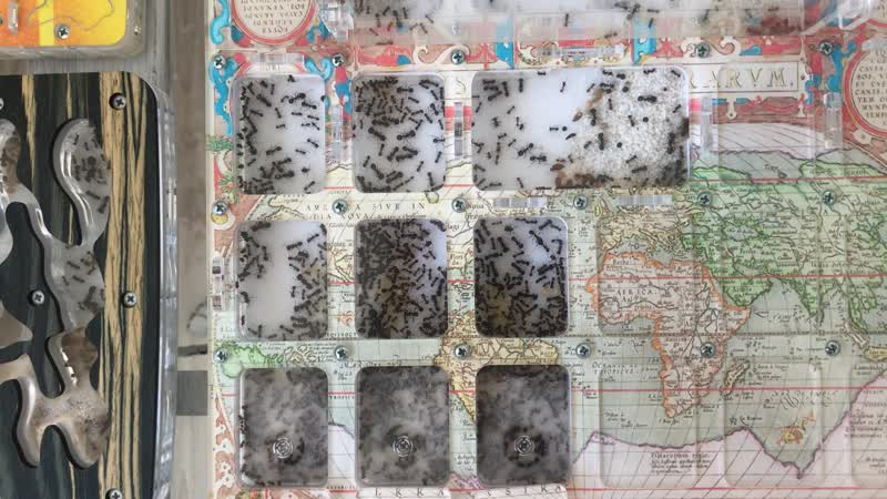 Успешное подселение жнецов к муравьям Messor muticus structor