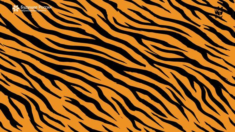 Амурский тигр: как живет самая большая хищная кошка?