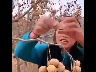 Вот так растут грецкие орехи в Китае - Умная дача