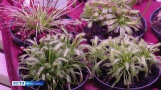 Питаются водой, солнцем и мясом: жители Ярославля выращивают хищные растения