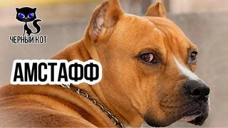 ✔ АМСТАФФ  -  собака убийца или нежный и преданный друг? Стоит ли заводить эту породу?