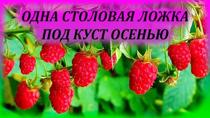 Даю МАЛИНЕ 1 столовую ложку под куст осенью и летом получаю ведро ягод Чем подкормить малину осенью