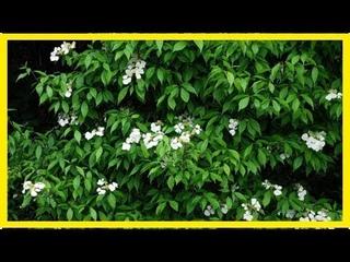 Гортензия черешковая: фото, описание, посадка и уход, секреты выращивания