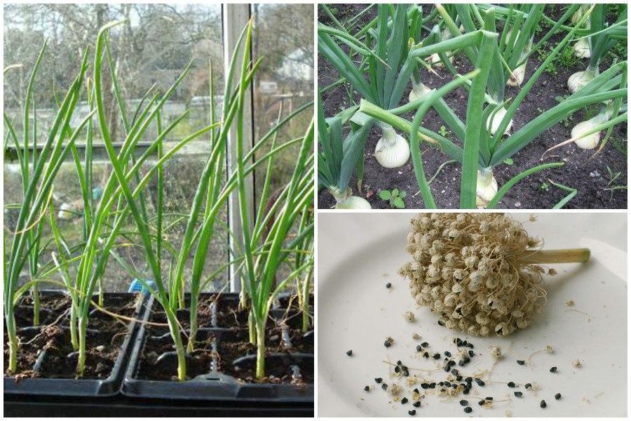 Выращивание лука репчатого из семян