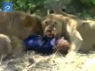 Львы едят человека