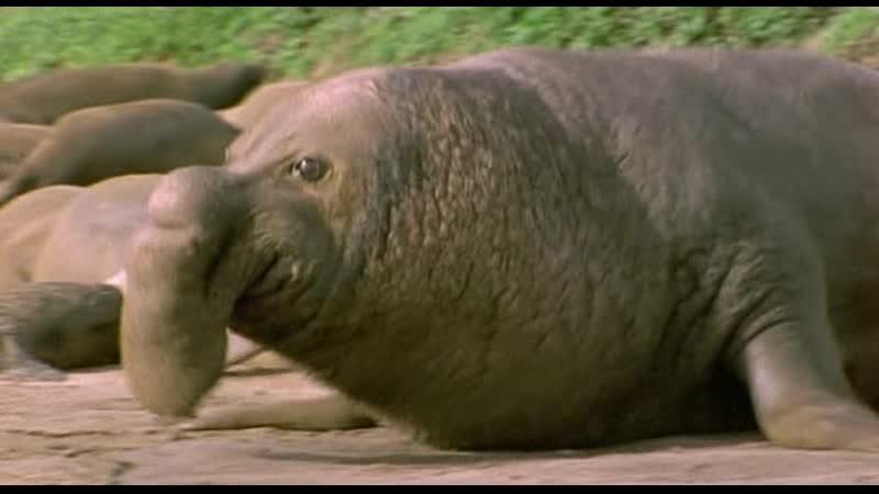 BBC Ребятам о зверятах Морской слон