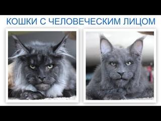 Кошки с человеческим лицом. Породы Мейн-кун. Самые необычные кошки в мире!