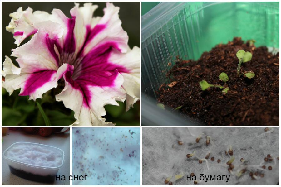 Посадка семян петунии по бумаге