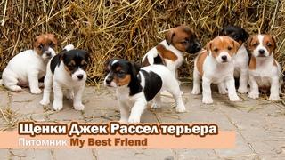 Питомник My Best Friend - щенки Джек Рассел терьеров