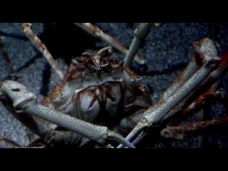 Японские крабы-пауки. Санкт-Петербургский океанариум