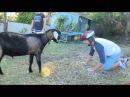 Man vs Goat