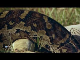 BBC Удивительный мир животных (07). Змеи (Познавательный, природа, 2014)