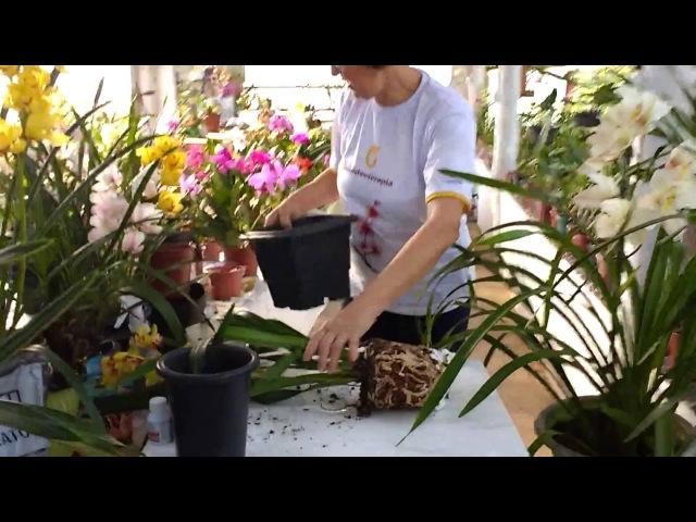 Técnica de replante de Cymbidium por Teresinha Kunz