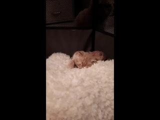 Фрося кошка красная мраморная нам 1 месяц