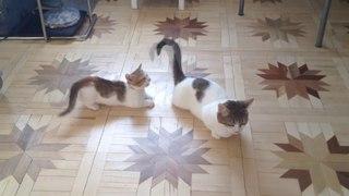 """Как через """"не хочу"""", но """"чувство долга превыше всего"""")) моя кошка развлекает котят хвостом!"""