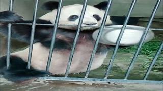 Панда просить чтобы покормили Panda Angrily Asking For Food