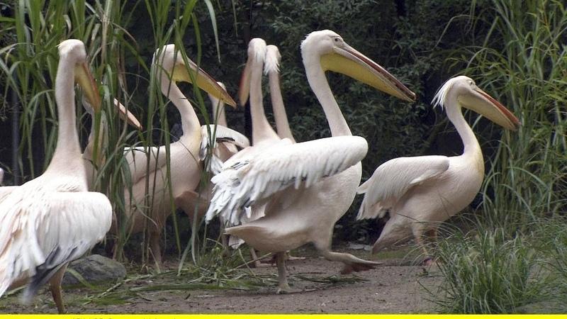 Птицы заповедника Скадарского озера Черногории, Аnimals,Tiere