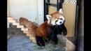 すくすく成長! やんちゃなコキン(レッサーパンダ)@北海道釧路市 Red Panda baby at Kushiro Zoo, Hokkaido