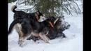Охота на кабана с лайками Wild boar hunting with dogs.