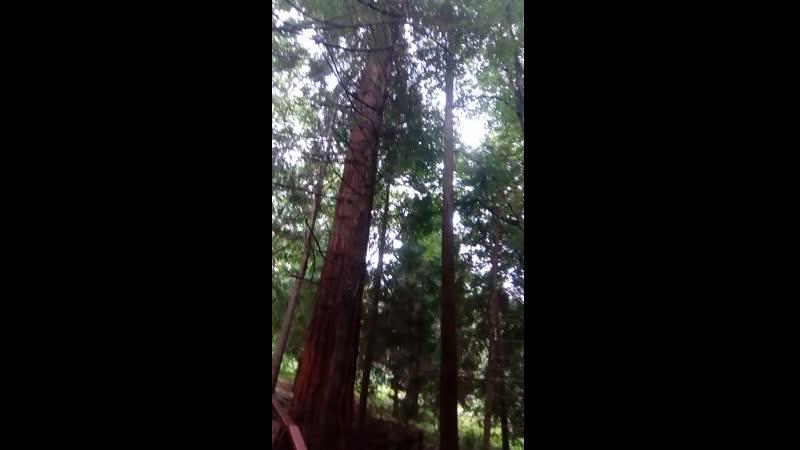 Роща секвой