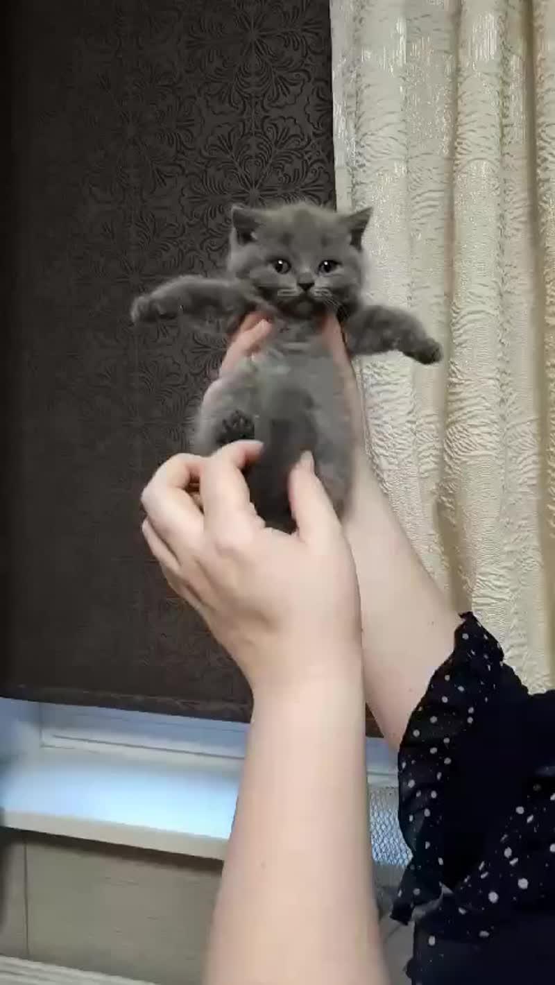голубая британская кошка №1  с питомника мирасинель mirasinel