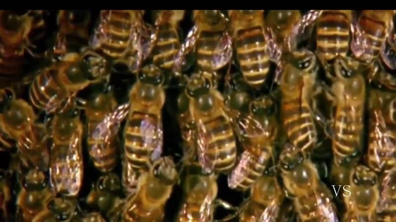 Guerra de insetos ~ 30 Vespa Gigante vs 30 000 Abelha Combate Incrivel até à Morte
