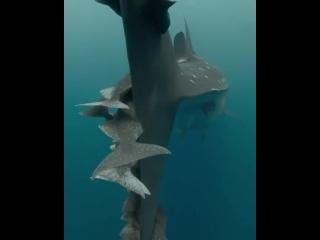 Китовая акула с детенышами