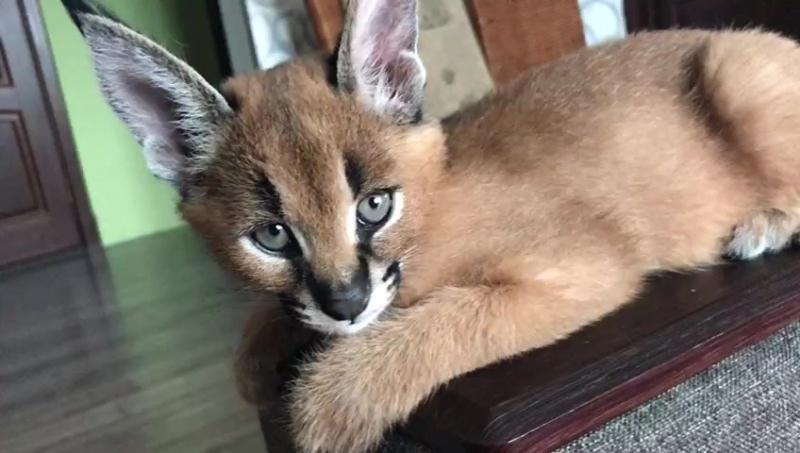 Каракал малыш каракала экзотическая кошка продается прлдажа