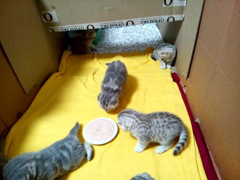 шотландские вислоухие котята пушистики