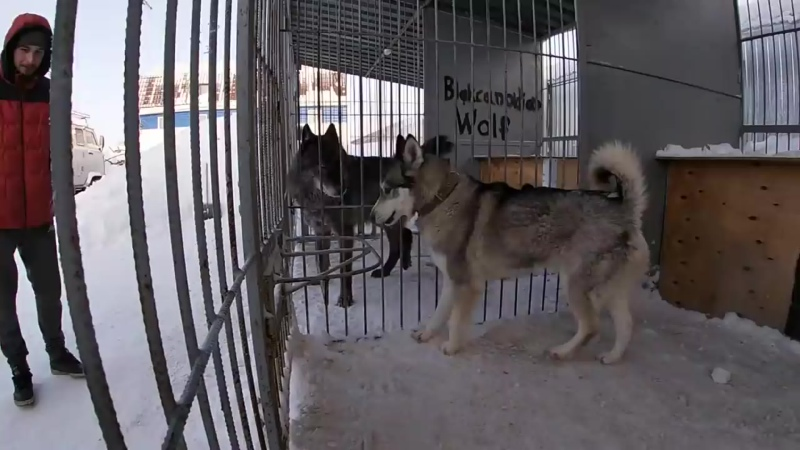 Вязка Волка и Хаски, wolf and husky breeding