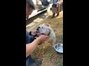 Видео от Английские бульдоги в беде