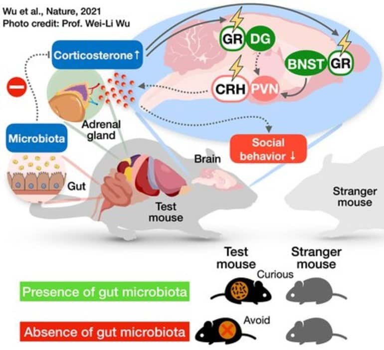 Кишечная микрофлора напрямую влияет на социальное взаимодействие, изображение №1