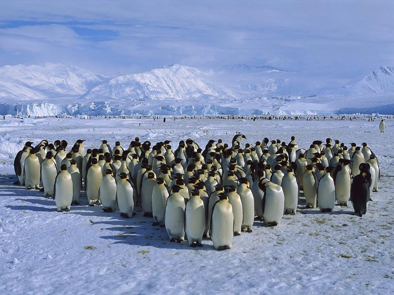 Пингвины (лат. Spheniscidae) — семейство нелетающих морских птиц, единственное в...