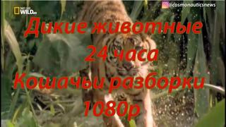 Дикие животные 24 часа 5 серия Кошачьи разборки 1080p