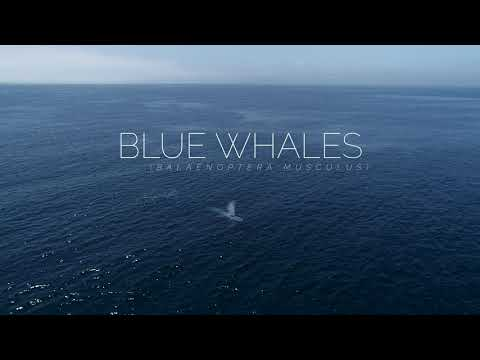 The Largest Animal on the Planet Blue Whales Santa Barbara CA